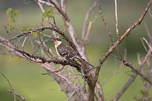 Great spotted cuckoo (Clamator glandarius) perched, Cyprus, April  -  Robin Chittenden