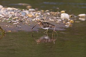 Common snipe (Gallinago gallinago) at water's edge, Cyprus, April  -  Robin Chittenden
