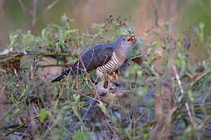 Common cuckoo (Cuculus canorus) calling, Norfolk, England, UK, May.  -  Robin Chittenden