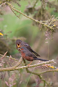 Dartford warbler (Sylvia undata) perched, Suffolk , England, UK. June.  -  Robin Chittenden