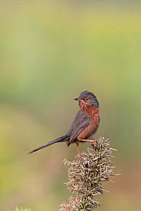 Dartford Warbler (Sylvia undata) perched, Suffolk, England, UK, June.  -  Robin Chittenden