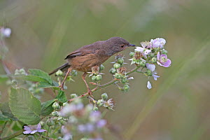 Dartford Warbler (Sylvia undata) perched on bramble flower, Suffolk, England, UK, June.  -  Robin Chittenden
