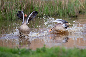 Greylag goose (Anser anser) chasing another, Norfolk, England, UK, April.  -  Robin Chittenden