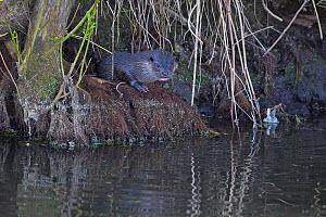 Common otter (Lutra lutra) Norfolk, England, UK, April.  -  Robin Chittenden