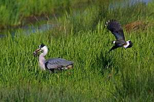 Grey heron (Ardea cinerea) with Lapwing (Vanellus vanellus) mobbing it, Norfolk, England, UK, May.  -  Robin Chittenden