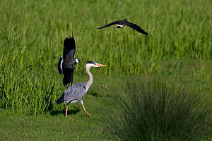 Grey heron (Ardea cinerea) with Lapwings (Vanellus vanellus) mobbing, Norfolk, England, UK, May.  -  Robin Chittenden