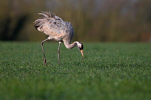 Common crane (Grus grus) Norfolk, England, UK, March.  -  Robin Chittenden