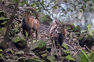 Cyprus Mouflon (Ovis gmelini ophion) Cyprus, April. Captive.  -  Robin Chittenden