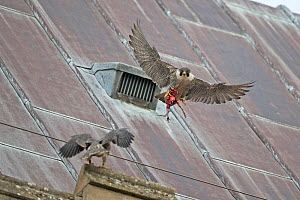 Peregrine (Falco peregrinus) falcons flying at Norwich Cathedral roof, Norwich, UK, June. - Robin Chittenden