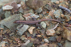Troodos lizard (Lacerta troodica) on ground, Cyprus, April.  -  Robin Chittenden