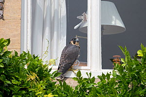 Peregrine (Falco peregrinus) sitting on windowsill of house, Norwich, England, UK, June.  -  Robin Chittenden