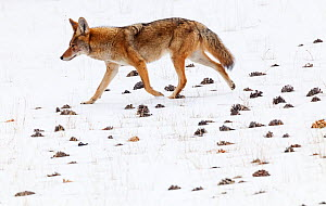 Coyote (Canis latrans) walking in the snow amongst pinecones. Sierra de San Pedro Martir National Park, Baja California Peninsula, Mexico. December. Digitally enhanced image.  -  Claudio  Contreras
