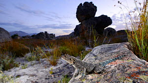 Southern rock agama, (Agama atra), South Africa, February . Non-ex.  -  Fabio Pupin