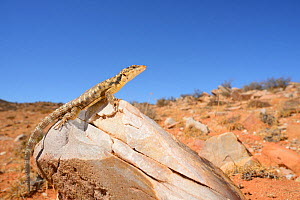 Karoo Girdled Lizard, (Karusasaurus polyzonus), basking on rock, Little Namaqualand, South Africa, February . Non-ex.  -  Fabio Pupin