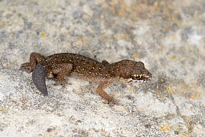 Ocellated thick-toed gecko, (Pachydactylus geitje) with regenerated tail, South Africa, February . Non-ex.  -  Fabio Pupin