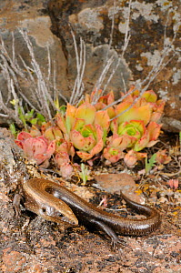 Tenerife skink, (Chalcides viridianus), La Gomera, Canary Islands, Spain, April . Non-ex.  -  Fabio Pupin