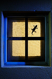 Moorish gecko, (Tarentola mauritanica), hunting on window, Italy, April . Non-ex.  -  Fabio Pupin