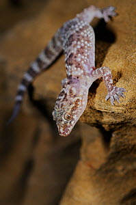 Mediterranean house gecko, (Hemidactylus turcicus), standing on sandstone, Tuscany, Italy, August . Non-ex.  -  Fabio Pupin