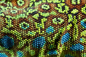 Ocellated lizard, (Timon lepidus), detail of skin, France, June . Non-ex.  -  Fabio Pupin