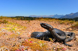 Common adder, (Vipera berus), dark moprh, Alps, Italy, October . Non-ex.  -  Fabio Pupin