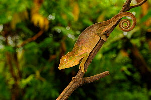 Circular-scaled chameleon, (Kinyongia gyrolepis), hanging from tree branch, Kahuzi-Biega NP, Democratic Republic of Congo, November . Non-ex.  -  Fabio Pupin
