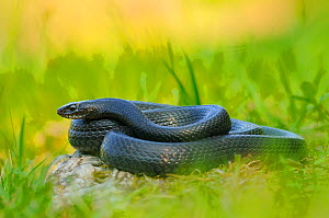 Western whip snake, (Hierophis viridiflavus), dark morph, basking in grass, Italy, April . Non-ex.  -  Fabio Pupin