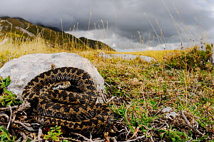 Meadow viper, (Vipera ursinii), basking before storm comes, Apennines, Italy, September . Non-ex.  -  Fabio Pupin