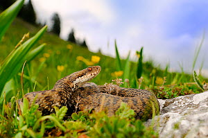 Common adder, (Vipera berus), montane habitat, Alps, Italy, May . Non-ex.  -  Fabio Pupin