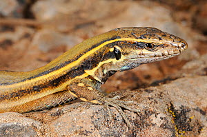 Boettger's lizard, (Gallotia caesaris), juvenile, La Gomera, Canary Islands, Spain, April . Non-ex.  -  Fabio Pupin