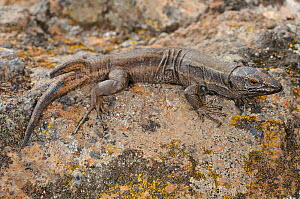 Boettger's lizard, (Gallotia caesaris), two-ended regenerated tail, La Gomera, Canary Islands, Spain, April . Non-ex.  -  Fabio Pupin