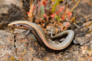 Tenerife skink, (Chalcides viridianus) La Gomera, Canary Islands, Spain, April . Non-ex.  -  Fabio Pupin