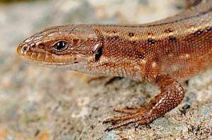 Viviparous lizard, (Zootoca vivipara), close-up of the head, Alps, Italy, September . Non-ex.  -  Fabio Pupin