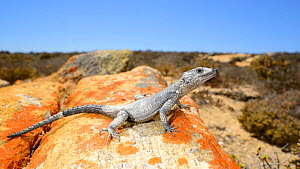 Karoo Girdled Lizard, (Karusasaurus polyzonus), black morph, covered in sea salt, Little Namaqualand, South Africa, February . Non-ex.  -  Fabio Pupin