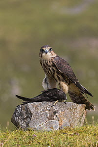 Merlin (Falco columbarius) with Swift (Apus apus) prey , Cumbria, UK, captive. July  -  Ann  & Steve Toon
