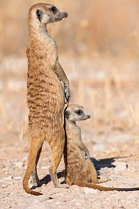 RF - Meerkat (Suricata suricatta) with young, Kgalagadi Transfrontier Park, South Africa. (This image may be licensed either as rights managed or royalty free.) - Ann  & Steve Toon