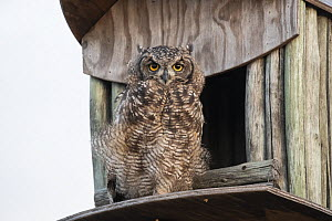 Spotted eagle owl (Bubo africanus) at nest box, Paternoster, Western Cape, South Africa.  -  Ann  & Steve Toon