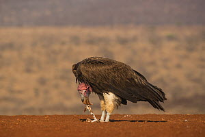Lappetfaced vulture (Torgos tracheliotos) feeding, Zimanga private game reserve, KwaZulu-Natal, South Africa. - Ann  & Steve Toon