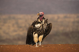 Lappetfaced vulture (Torgos tracheliotos), Zimanga private game reserve, KwaZulu-Natal, South Africa. - Ann  & Steve Toon