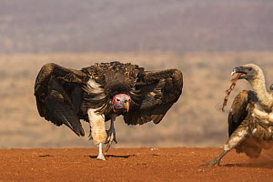 Lappetfaced vulture (Torgos tracheliotos) intimidating whitebacked vulture for food, Zimanga private game reserve, KwaZulu-Natal, South Africa. - Ann  & Steve Toon