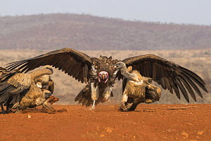 Lappet faced vulture (Torgos tracheliotos) intimidating whitebacked vultures, Zimanga private game reserve, KwaZulu-Natal, South Africa. - Ann  & Steve Toon