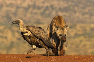 Whitebacked vulture (Gyps africanus) chased by spotted hyena, Zimanga private game reserve, KwaZulu-Natal, South Africa.  -  Ann  & Steve Toon