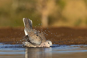 Cape turtle dove (Streptopilia capicola) bathing, Zimanga private game reserve, KwaZulu-Natal, South Africa. - Ann  & Steve Toon