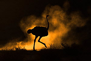 Ostrich (Struthio camelus) silhouetted in dust storm. Kalahari Gemsbok National Park, Kgalagadi Transfrontier National Park, Northern Cape, South Africa. - Ann  & Steve Toon