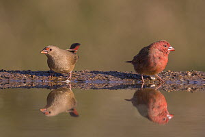 Red-billed firefinch (Lagonosticta senegala), Zimanga private game reserve, KwaZulu-Natal, South Africa.  -  Ann  & Steve Toon