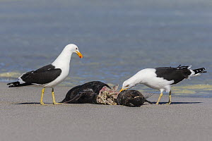 Kelp (Cape) gulls (Larus dominicanus) feeding on Cape fur seal carcass, Western Cape, South Africa.  -  Ann  & Steve Toon