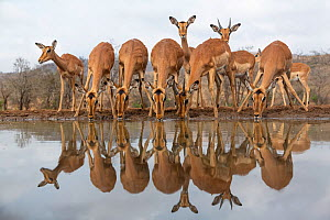 RF - Impala (Aepyceros melampus) at water with reflections, Zimanga game reserve, South Africa. (This image may be licensed either as rights managed or royalty free.) - Ann  & Steve Toon