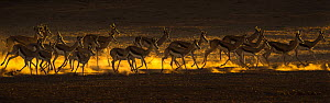 Springbok (Antidorcas marsupialis) herd on the move, Kgalagadi transfrontier park, South Africa.  -  Ann  & Steve Toon