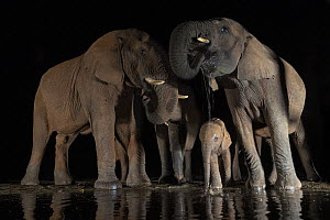 African elephants (Loxodonta africana) drinking from waterhole at night, Zimanga Game Reserve, KwaZulu-Natal, South Africa.  -  Ann  & Steve Toon