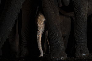 African elephant (Loxodonta africana) calf between adult's legs by waterhole at night, Zimanga game reserve, KwaZulu-Natal, South Africa.  -  Ann  & Steve Toon