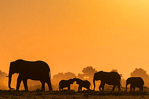 African elephants (Loxodonta africana) herd silhouetted at sunset. Chobe National Park, Botswana.  -  Ann  & Steve Toon